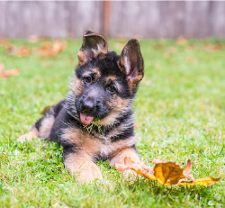 A puppy laying in the grass while on break from Private Puppy Training in Peoria IL