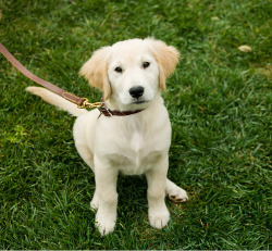A cute puppy sitting in the grass during In-Home Puppy Training in Peoria IL