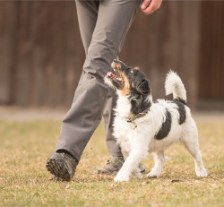 A dog obeying the heel command during Puppy Obedience Training in Peoria IL