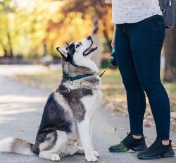 A dog learning to heel during Private Dog Training in Peoria IL