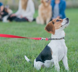 A dog watching their trainer in Dog Obedience Classes in Peoria IL