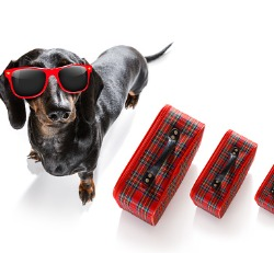 Happy dog with sunglasses ready for Dog Boarding in Peoria IL