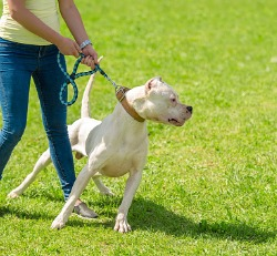 Dog pulling on leash while the owner is trying to walk the dog for Dog Behaviorist in Peoria IL