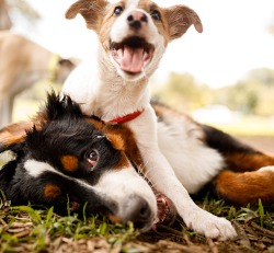 Two puppies wrestling outside in the grass for Doggy Daycare in Peoria IL