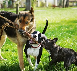 Three dogs all chewing on the same stick outside in the grass for Dog Kenneling in Peoria IL